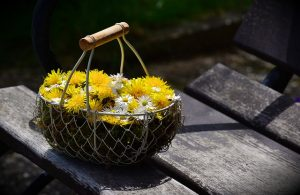 gathering dandelions