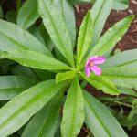 ginseng herb