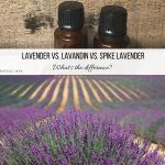 Lavender essential oil vs lavandin vs spike lavender