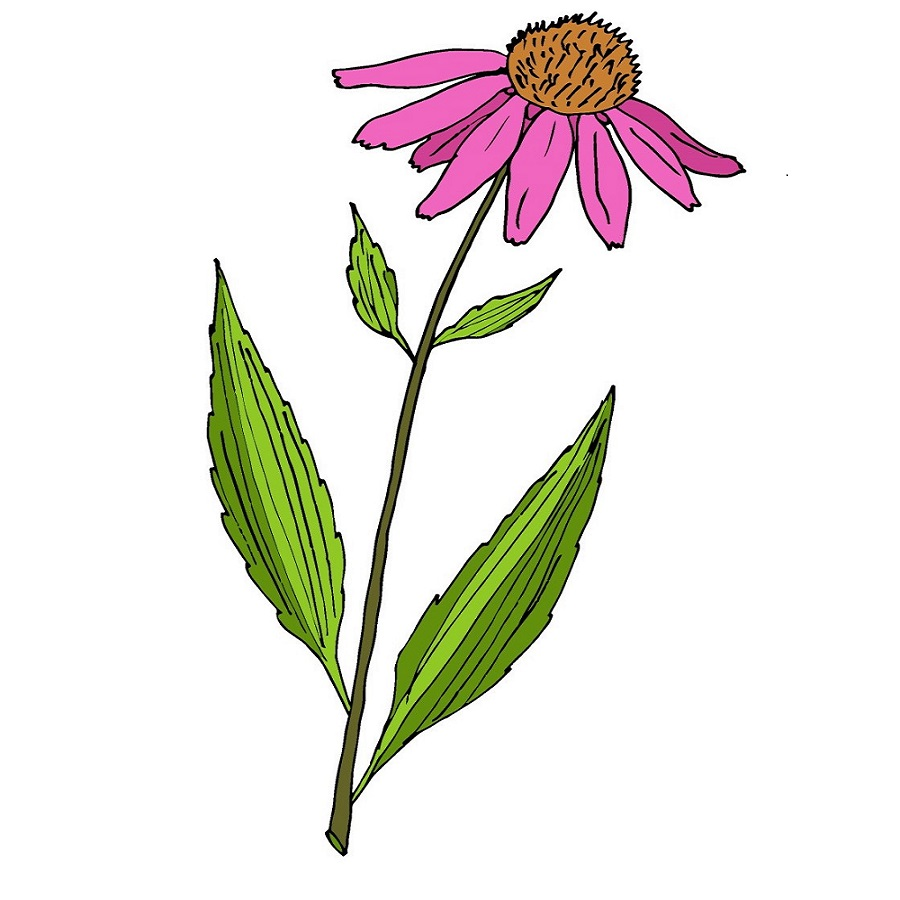 Echinacea illustration