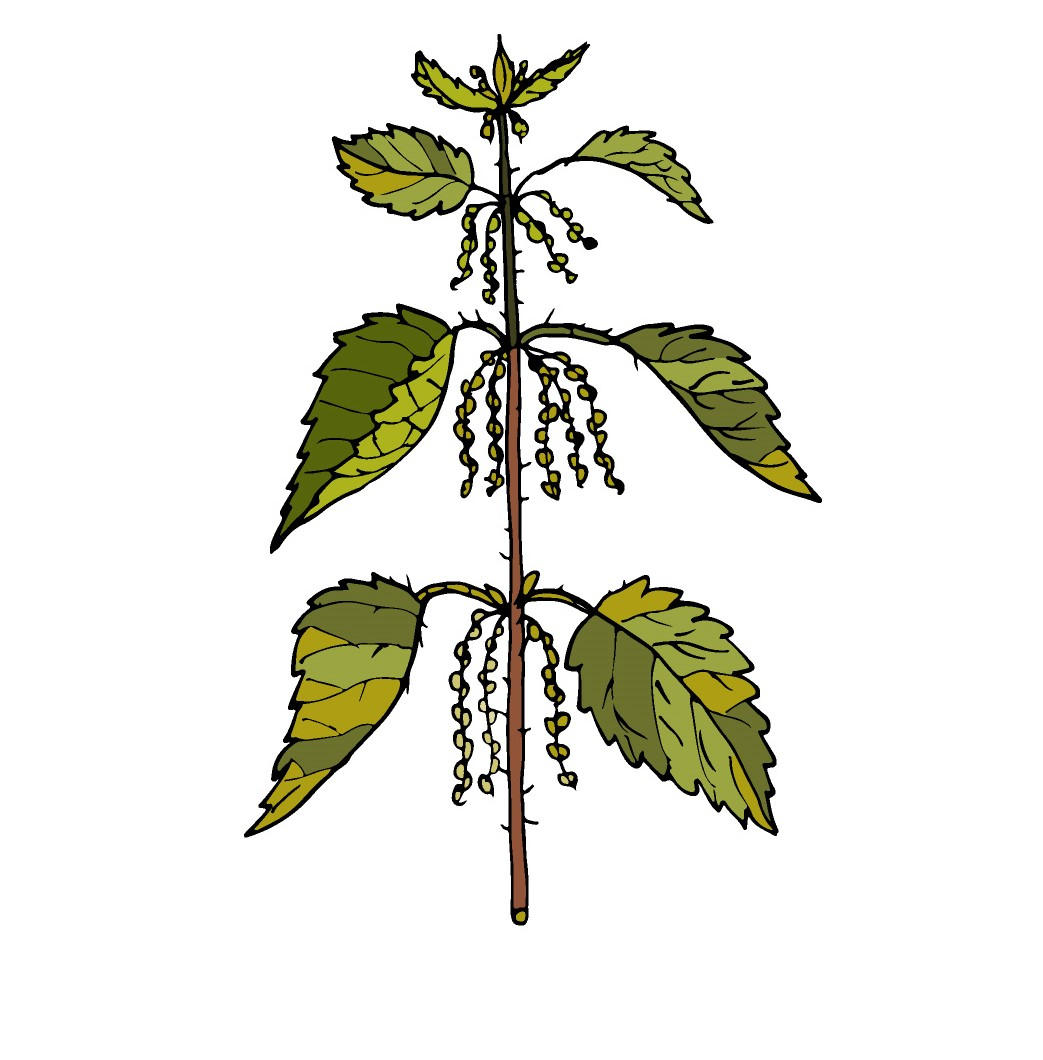 Stinging Nettle Illustration