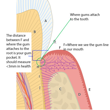 diagram of cross section of a tooth showing where the gum attaches to the root