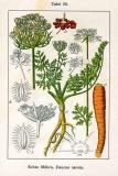 Carrot Seed (Daucus carota) Essential Oil