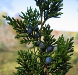 Cedarwood, Virginia (Juniperus virginiana) Essential Oil