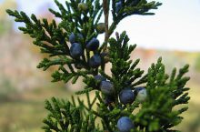 Cedarwood, Virginia (Juniperus virginiana) Essential Oil
