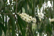 Cajeput (Melaleuca cajuputi, Melaleuca leucadendron) Essential Oil
