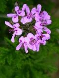 Geranium (Pelargonium graveolens) (Pelargonium x asperum) Essential Oil