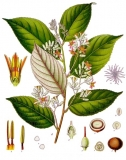 Benzoin (Styrax benzoin) Essential Oil