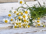Chamomile, German (Matricaria recutita) Essential Oil