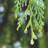Cypress (Cupressus sempervirens) Essential Oil