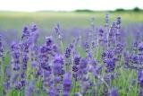 Lavender Essential Oil (Lavandula angustifolia, Lavandula officinalis)